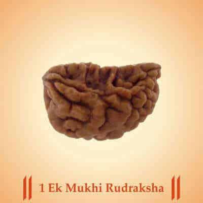 1 (Ek) Mukhi Rudraksha