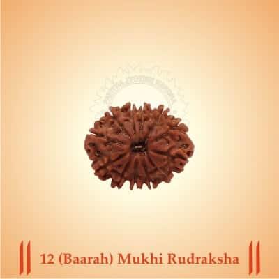 12 (Baarah) Mukhi Rudraksha