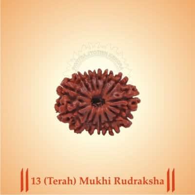 13 (Terah) Mukhi Rudraksha