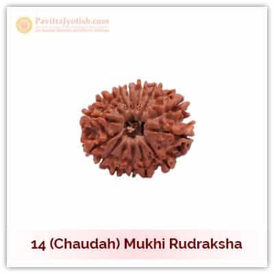 Original Nepali Choudah Mukhi Fourteen Faced Rudraksha