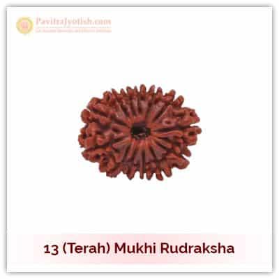 Original Nepali Terah Mukhi Thirteen Faced Rudraksha